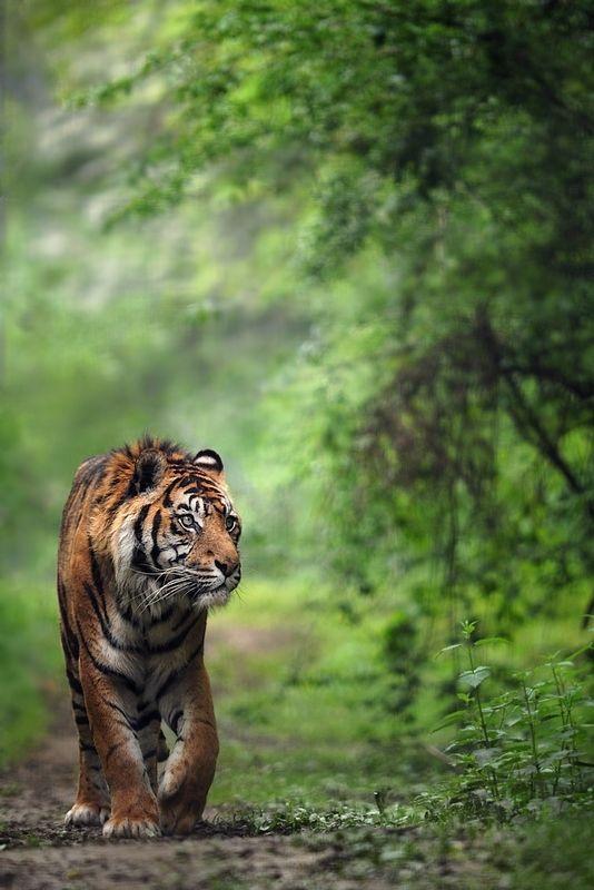 Harimau Sumatera Mencari Mangsa