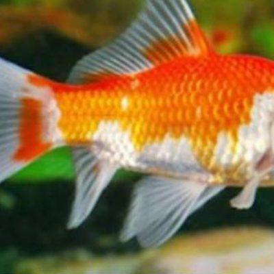 ikan komet slayer merah putih emas