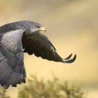 Burung Alap Alap Kawah