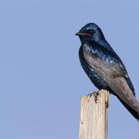 Burung Ababil