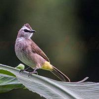 Burung Merbah
