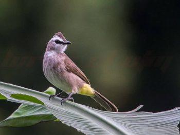burung merbah wallpaper