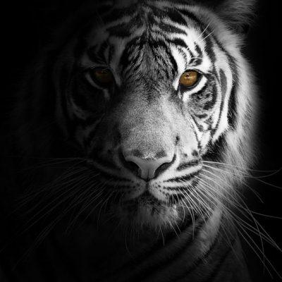 Wallpaper Harimau Putih